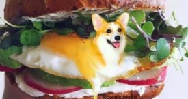 Instagram: Corgis in food