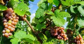Een druif om op te vreten