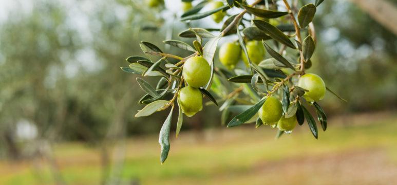 olijvenboom