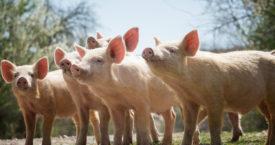 Waarom drinken we geen varkensmelk?
