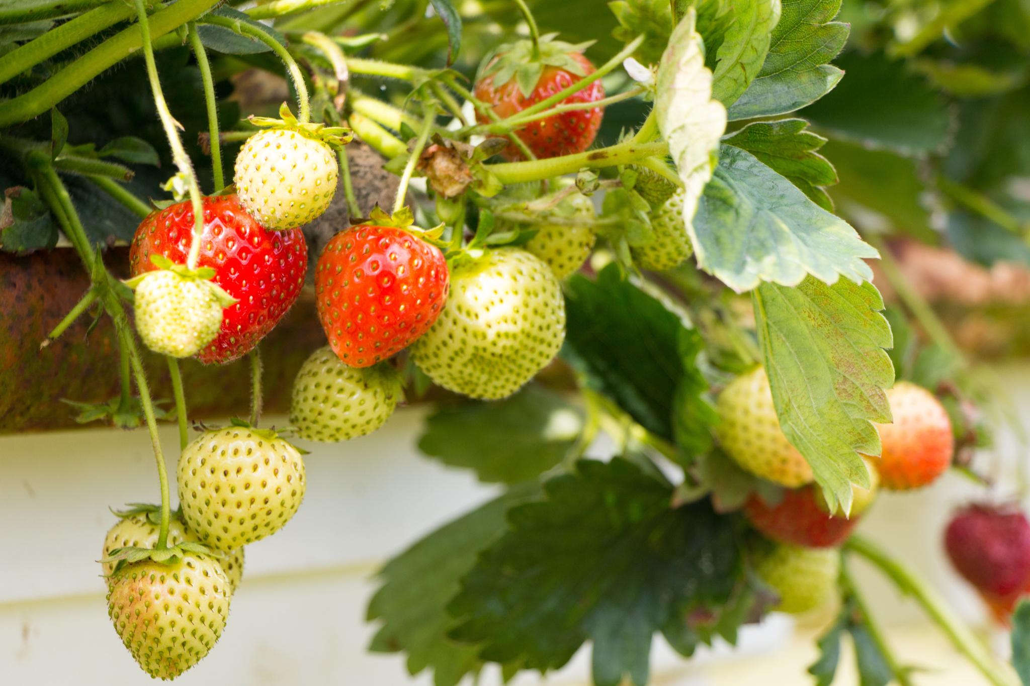 plant met aardbeien