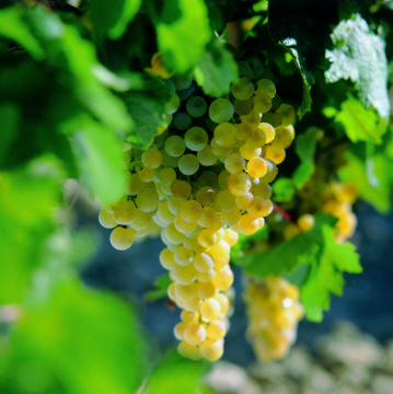 sherry druiven